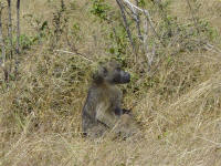 baboon at Chobe National Park Botswana