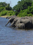 elephants drinking at Chobe National Park Botswana