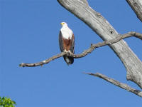 fish eagle at Chobe National Park Botswana