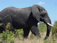 elephant at Chobe National Park Botswana