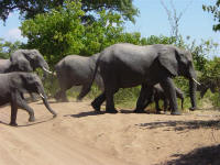 elephants at Chobe National Park Botswana