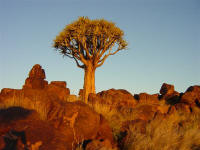 Trees of Namibia and Quiver Trees